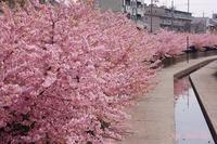 淀の河津桜2021年3月9日 - LLC徒然