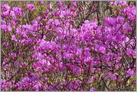 ミツバツツジが咲いている - 野鳥の素顔 <野鳥と日々の出来事>