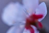 近郊のウメ(その21) - ジージーライダーの自然彩彩