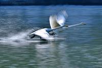 みちのく白鳥たち36 - みちのくの大自然