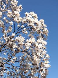 白木蓮咲く - しらこばとWeblog
