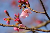 青山墓地桜便り - 錦眼鏡