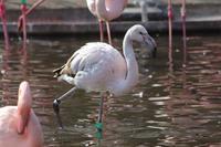 オオフラミンゴの若鳥(多摩動物公園 February 2020) - 続々・動物園ありマス。