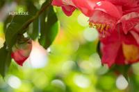 椿の蜜。 - MIRU'S PHOTO