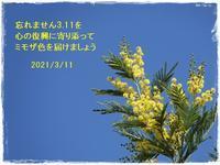 3.11を忘れない朝散歩で出合ったミモザより2021/3/11 Tokyo - むっちゃんの花鳥風月  ( 鳥・猫・花・空・山 )
