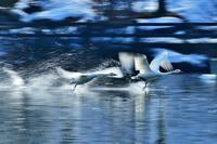 みちのく白鳥たち37 - みちのくの大自然