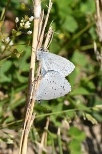 ルリシジミ・・・交尾 - 続・蝶と自然の物語