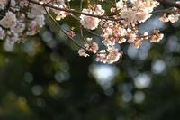青山墓地桜情報2 - 錦眼鏡