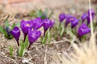 クロッカスが咲いてるのに - my small garden~sugar plum~
