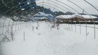 2021雪害で折れた露地植えブルーベリー主枝の修復 in 周南市 - 初めてのブルーベリー栽培記