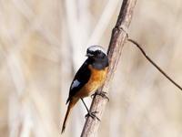 河原にいたジョウビタキとホオジロ - コーヒー党の野鳥と自然パート3