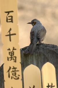 青山墓地の鳥たち - 錦眼鏡