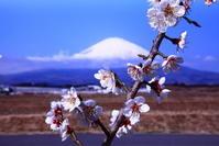 令和3年3月の富士(4)御殿場の梅と富士 - 富士への散歩道 ~撮影記~