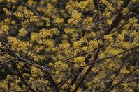 早春の黄色の花木いろいろ--蝋梅、山茱萸、満作、三椏、日向水木、土佐水木、柊南天、バナナの花 - 世話要らずの庭