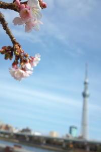 Tokyo Snap 76隅田川 - 花は桜木、
