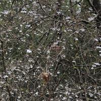 マメザクラ満開 - みちくさ 摘み草 語りぐさ