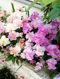 春色が増した庭 - ハーブの咲く庭で・・・
