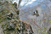 高いお山のカラ系四種の飛び比べ、不発 - 里山便り