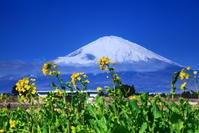令和3年3月の富士(5)御殿場の菜の花と富士 - 富士への散歩道 ~撮影記~