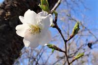 山桜一輪咲く - 里山の四季