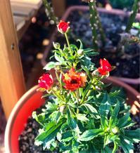 バラの芽出し肥♡と春の開花、蕾色々♫ - 薪割りマコのバラの庭