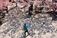 満開の頃『三浦海岸河津桜2021』⑪ - 写愛館
