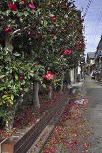 「サザンカの路」 - hal@kyoto