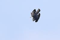 ハイタカ 急降下 - 野鳥の視線