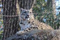 ユキヒョウ「アサヒ」大森山動物園へ!~三兄妹の想い出 - 続々・動物園ありマス。