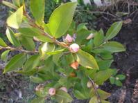 香り椿を植えました。 - 花の自由旋律