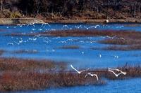 みちのく御所湖白鳥たち21 - みちのくの大自然