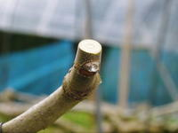 甘熟イチジク匠の剪定作業2021前編:結果枝を匠の剪定!1節から実るように弱い芽を残します! - FLCパートナーズストア