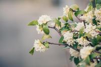 沈丁花の匂い - 写真の記憶