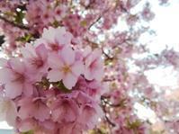 桜さくら… - 侘助つれづれ