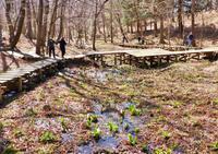 春がくれば思い出す~嶺公園のミズバショウ - 星の小父さまフォトつづり