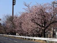 早咲きの桜(1) (2021/3/11&15撮影) - toshiさんのお気楽ブログ