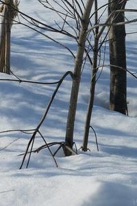庭木救出作戦・・1回目。ヤマボウシとか。 - あいやばばライフ