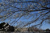 桜一分咲き - ひのきよ