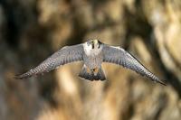 地元のハヤブサ - 北の大地で野鳥ときどきフライフィッシング