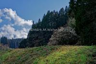 菊池市内の一本梅 - Mark.M.Watanabeの熊本撮影紀行