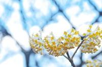暖かそうな色に咲く花(ミツマタ) - ジージーライダーの自然彩彩
