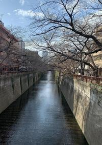 目黒川の桜はまだまだ - 毎日にこにこハッピーデイ