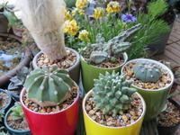 サボテンの植え替え - あるまじろの庭