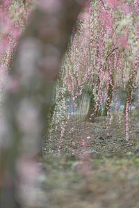 梅花のかほり。。。7 - 気ままにお散歩