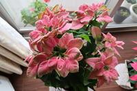 わが家の花の顛末プリンセチア、ヒヤシンス、ルピナス - ニッキーののんびり気まま暮らし