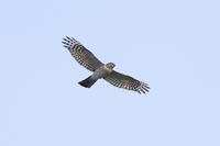 春期タカの渡り Ep1 - 野鳥の視線