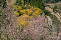 西吉野・啓翁桜 - toshi の ならはまほろば