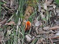 3月20日(土)春探し6ヒイロチャワンタケ - 庄原市上野公園(上野池)とその周辺の出来事