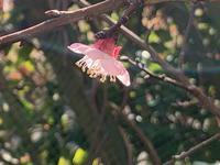 たった一輪の杏の花とその他、、、 - いととはり