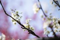 春を呼ぶ桃♪ - Lovely Poodle